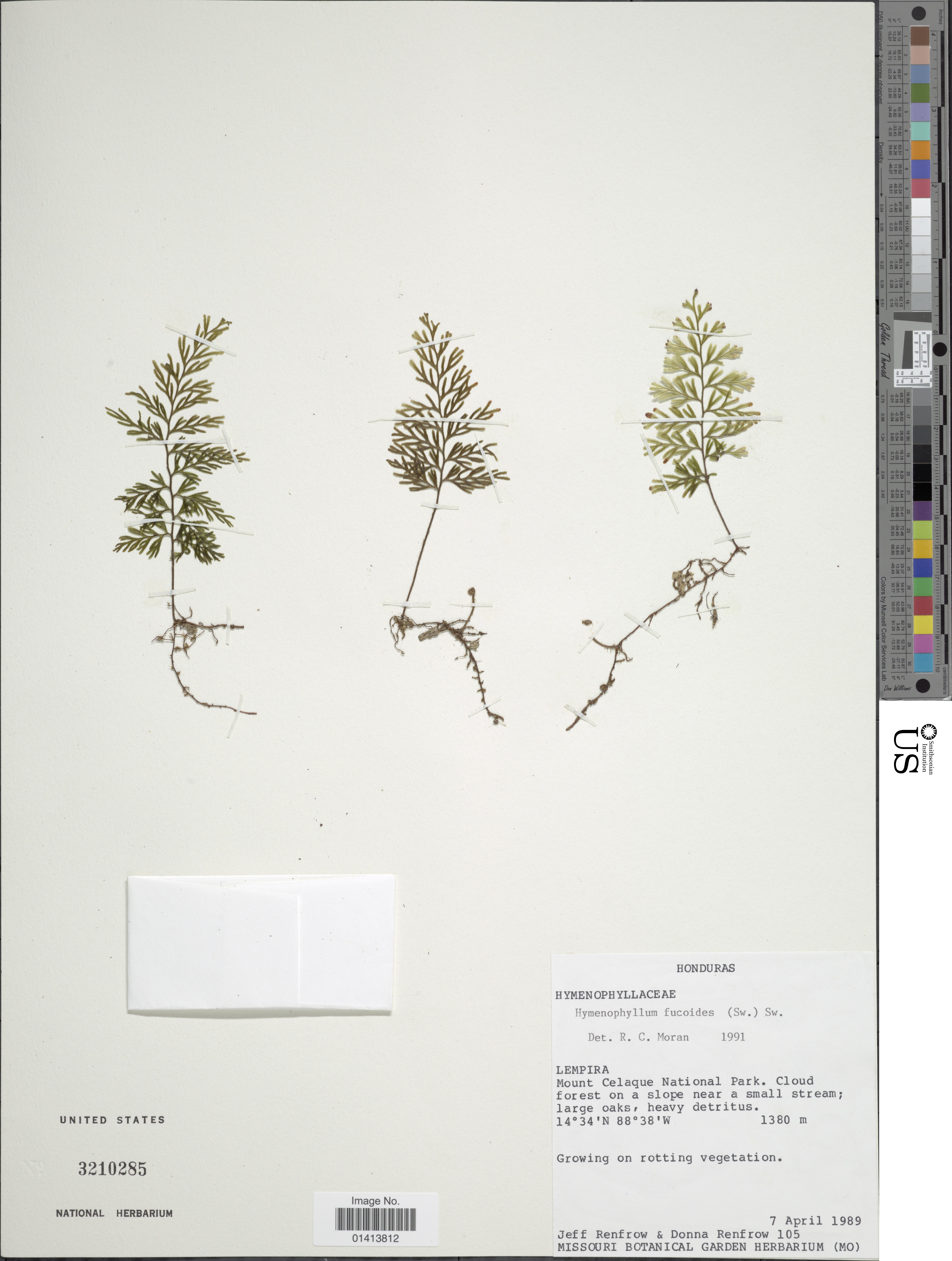 Image of graceful filmy fern