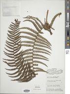 Image of <i>Diplopterygium giganteum</i> (Wall. ex Hook.) Nakai