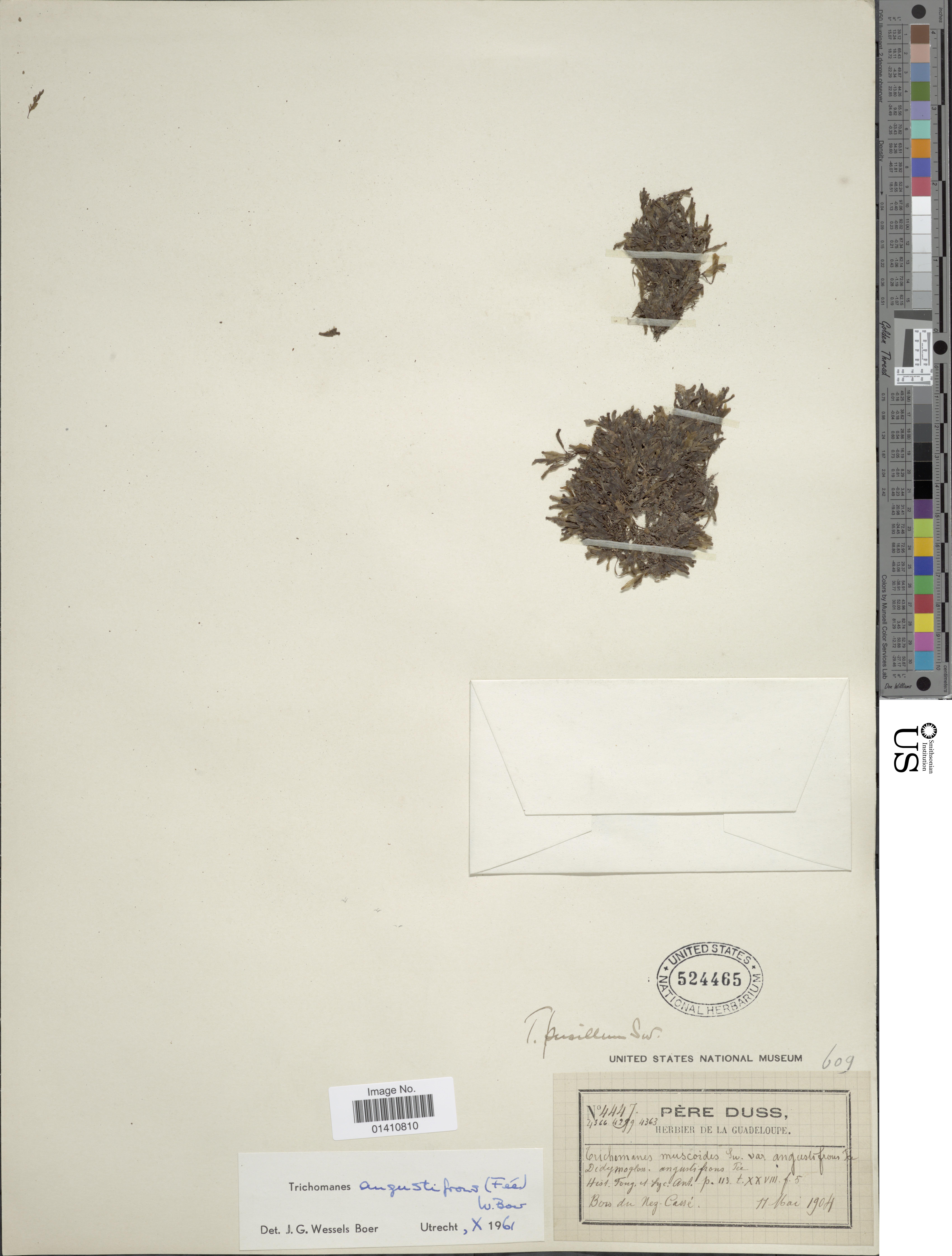 Image of <i>Didymoglossum angustifrons</i> Fée