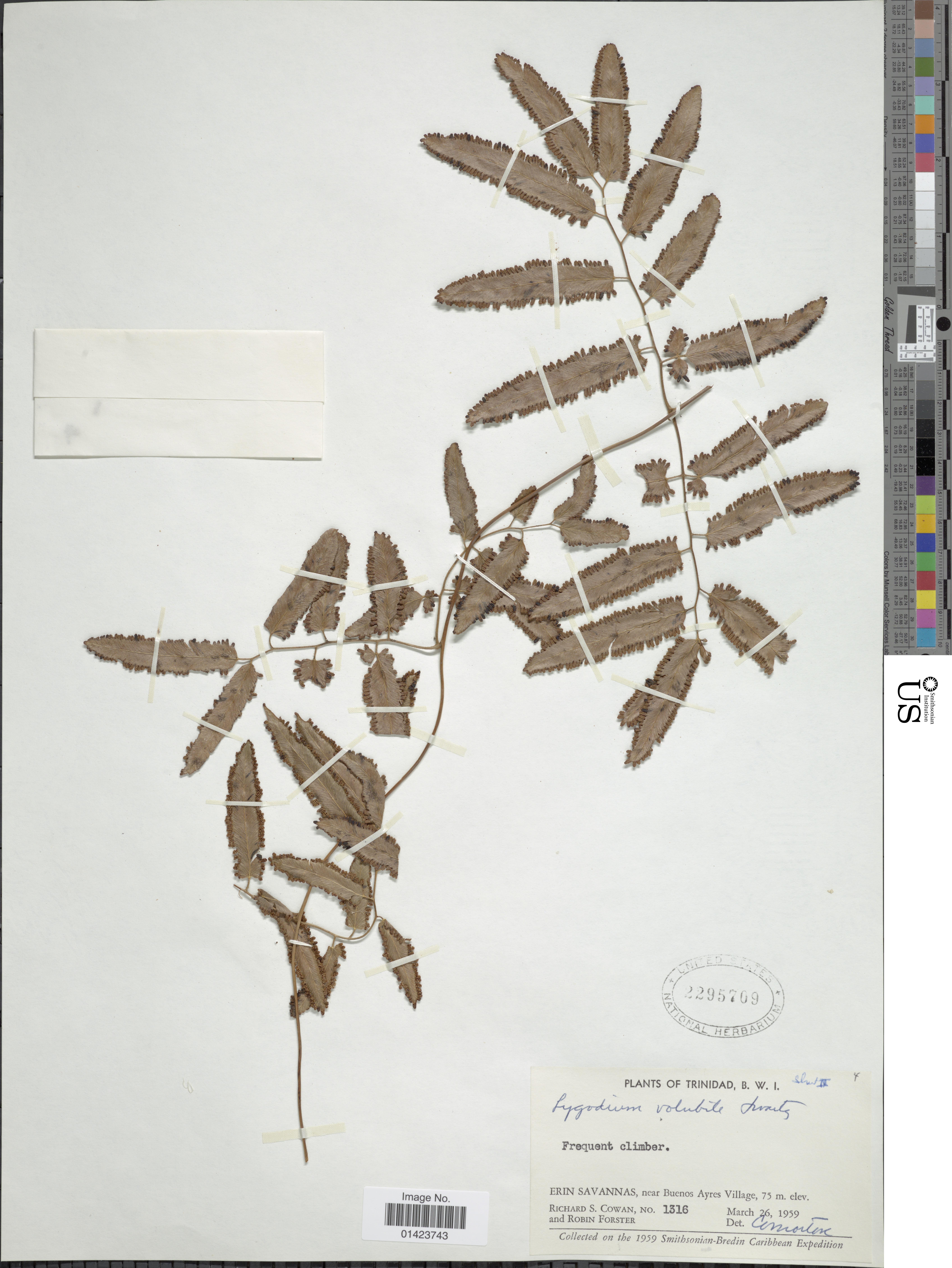 Image of <i>Lygodium volubile</i> Sw.