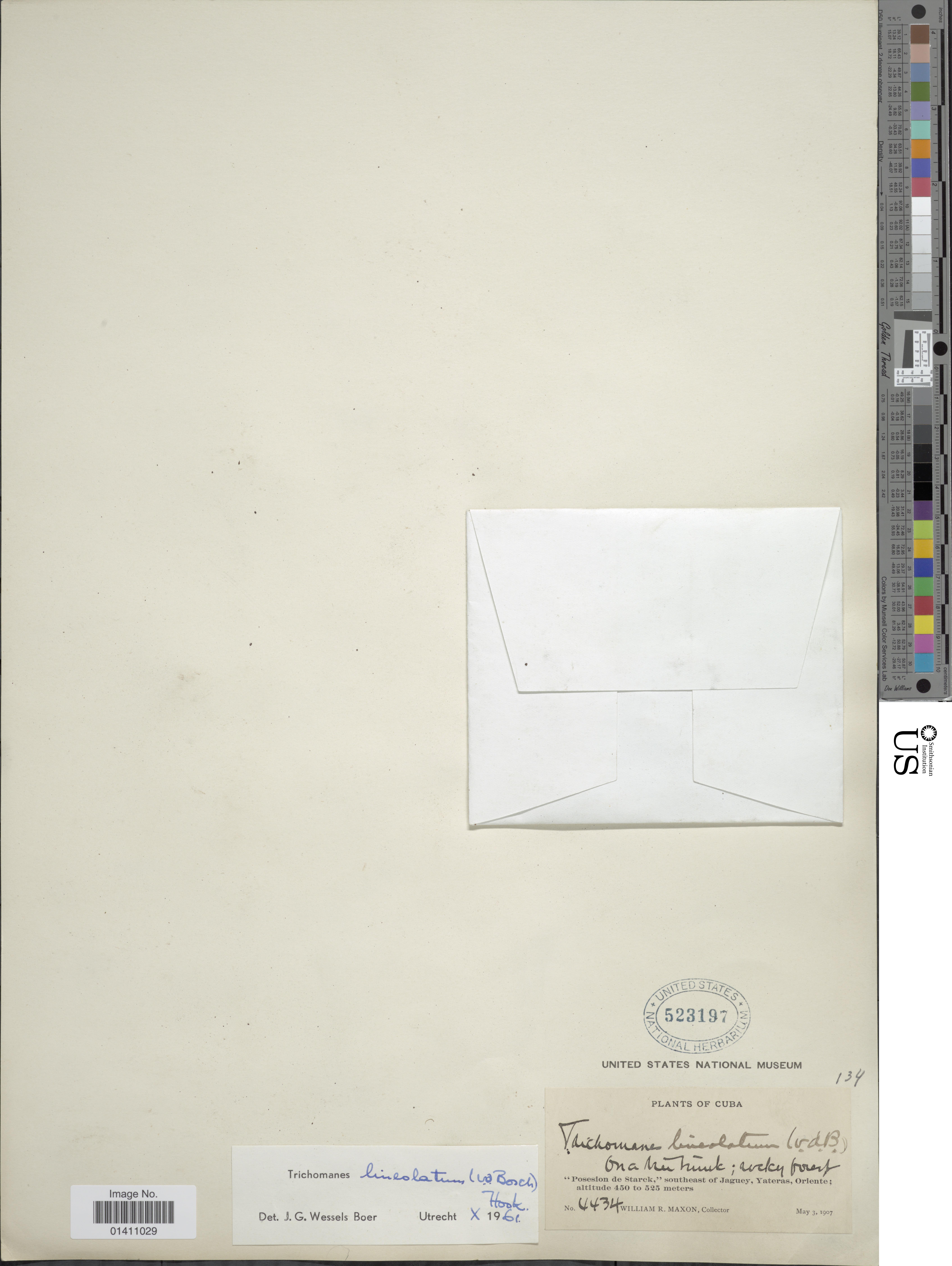 Image of <i>Didymoglossum lineolatum</i>