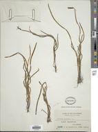 Image of <i>Actinostachys digitata</i> (L.) Wall. ex Reed