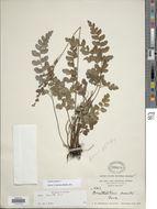 Image of <i>Anemia aurita</i> (Sw.) Sw.