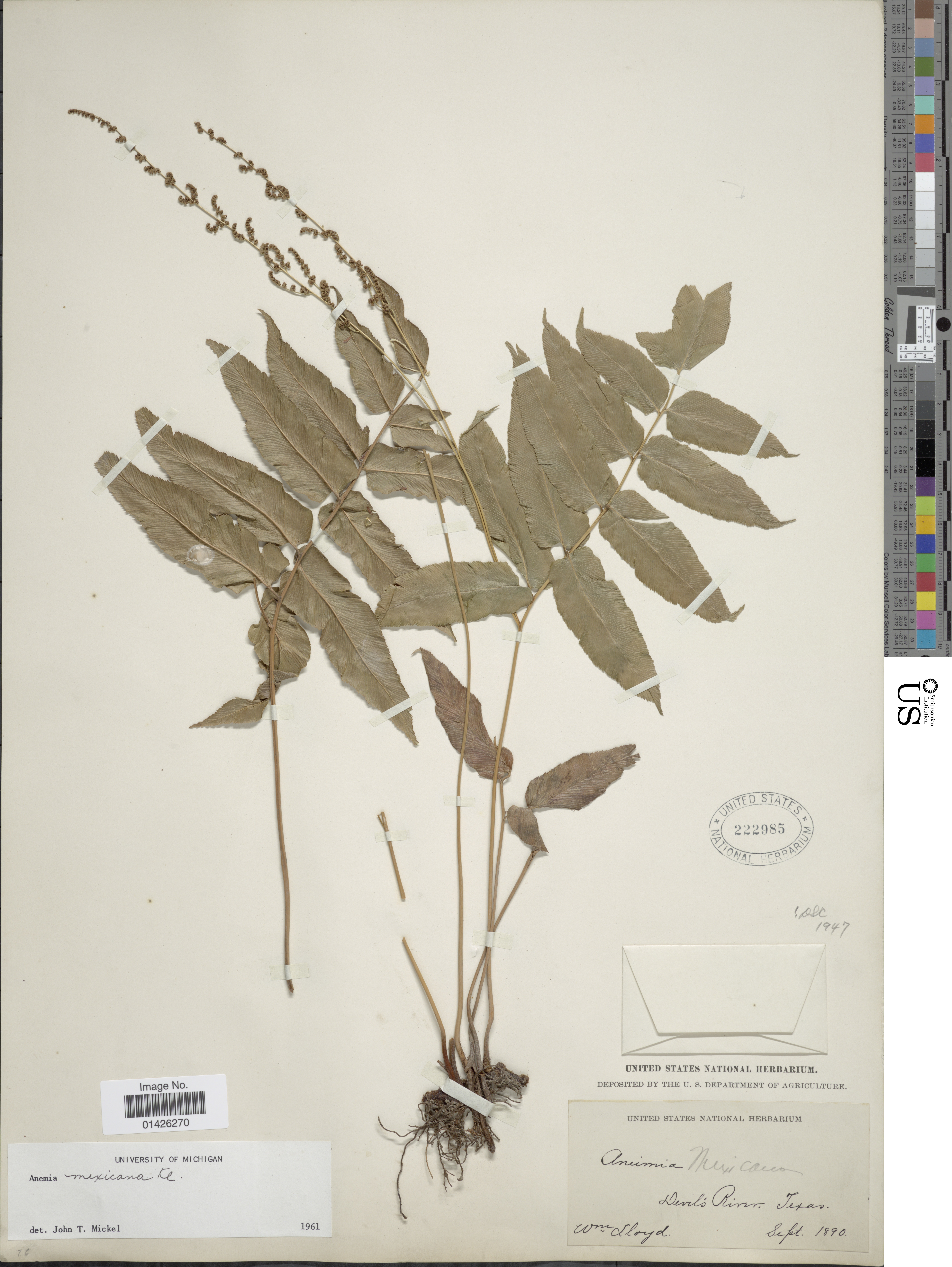Image of Mexican fern