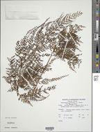Image of <i>Sphenomeris chinensis</i> (L.) Maxon