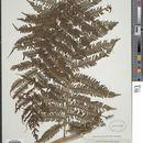Image of <i>Cyathea lunulata</i> (G. Forst.) Copel.