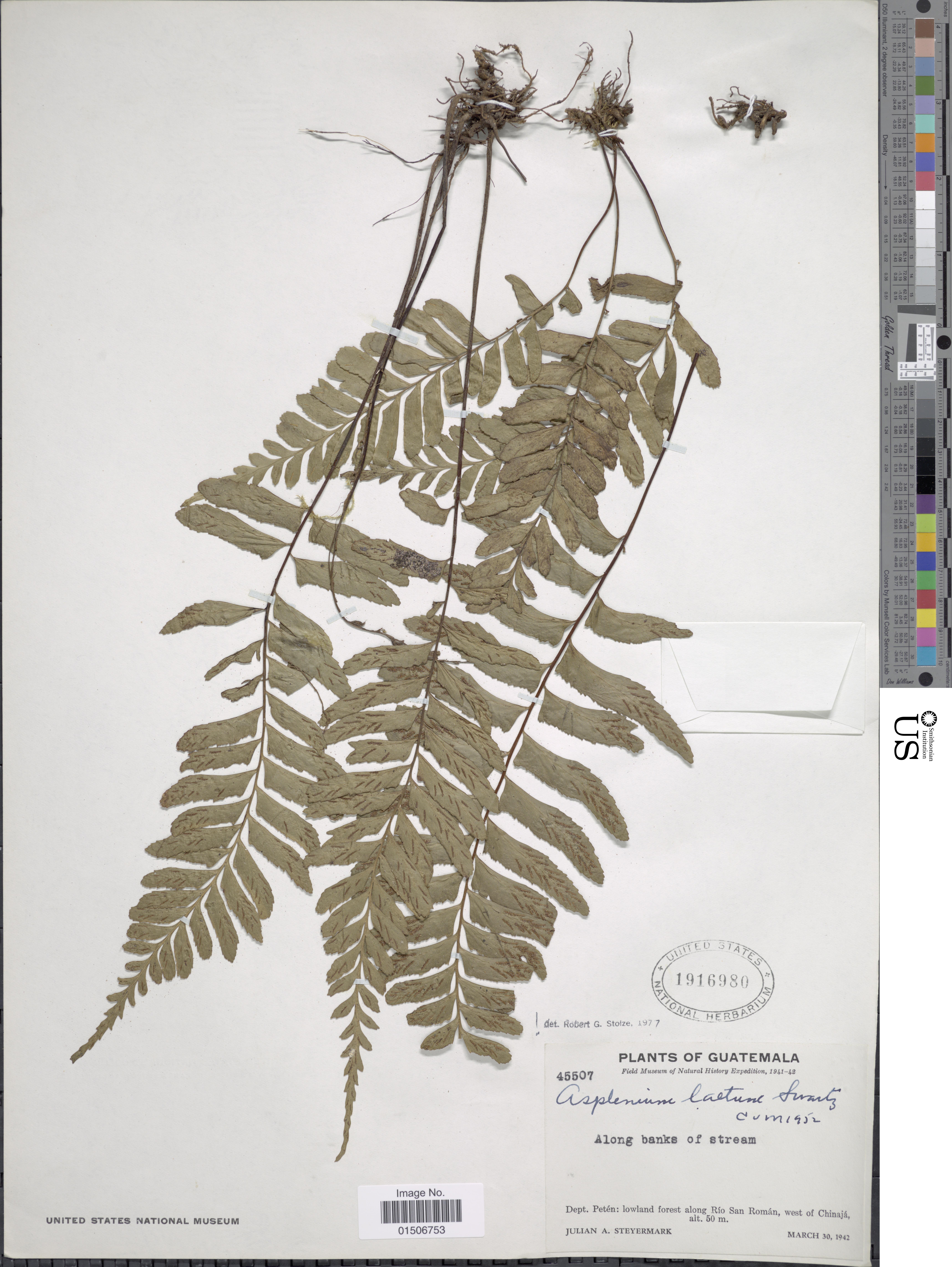 Image of brownstem spleenwort