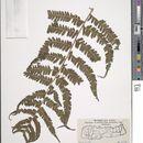 Image of <i>Cyclogramma auriculata</i> (J. Sm.) Ching
