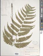 Image of <i>Diplazium mettenianum</i> (Miq.) C. Chr.