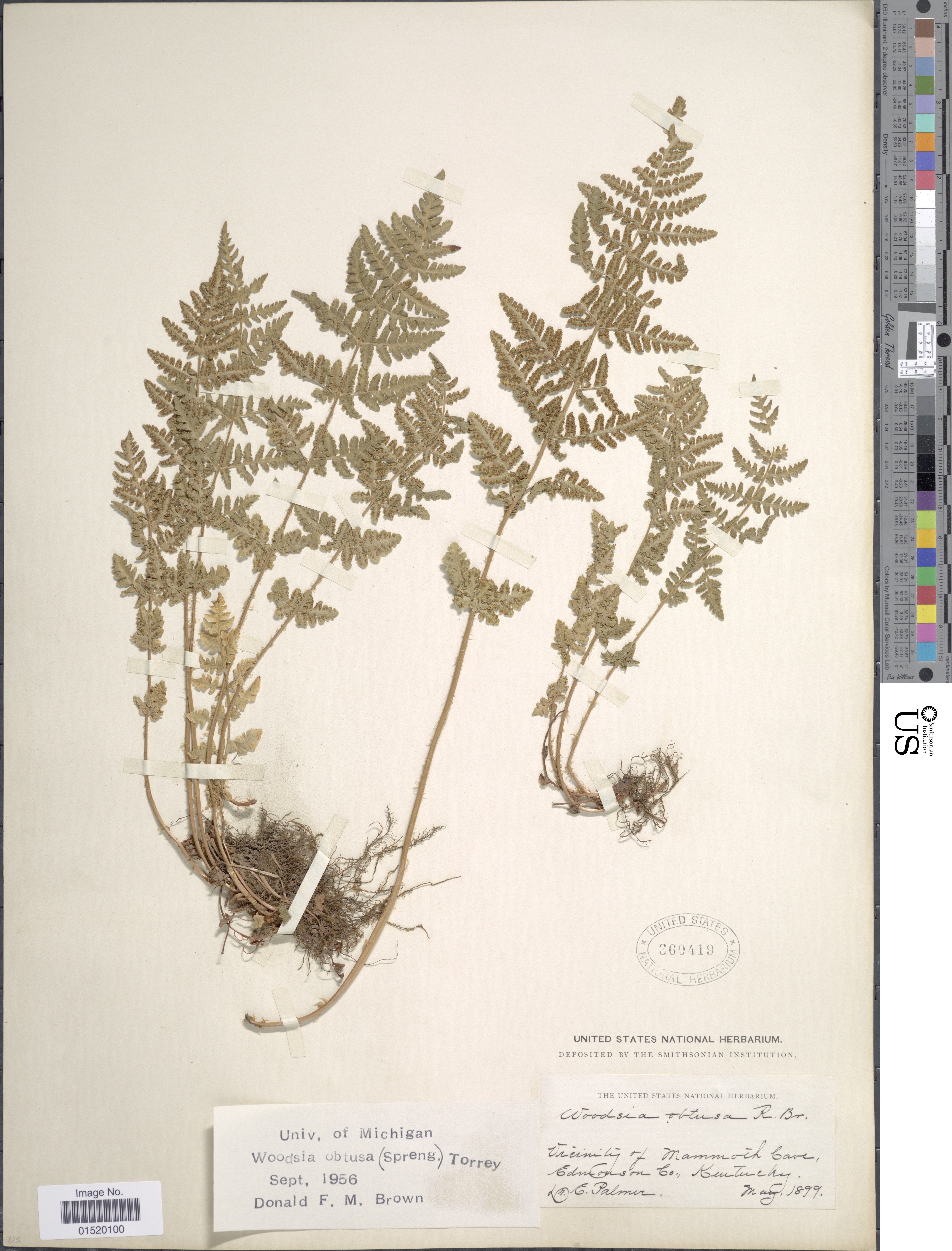 Image of bluntlobe cliff fern
