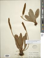 Image of <i>Elaphoglossum muscosum</i> (Sw.) T. Moore