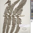 Image of <i>Stigmatopteris jamaicensis</i> (Desv.) Proctor