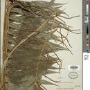 Image of <i>Lomagramma pteroides</i> J. Sm.
