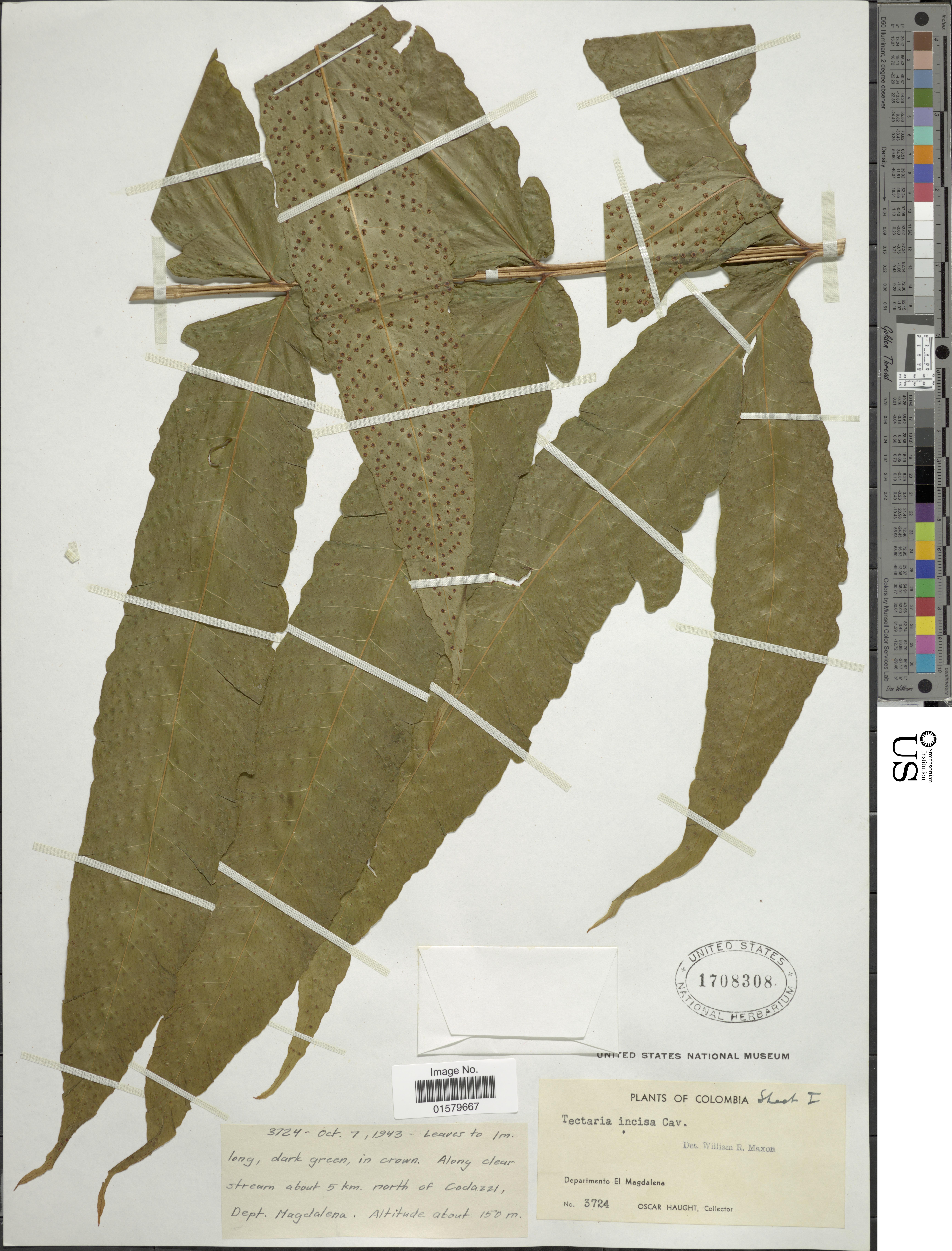 Image of incised halberd fern