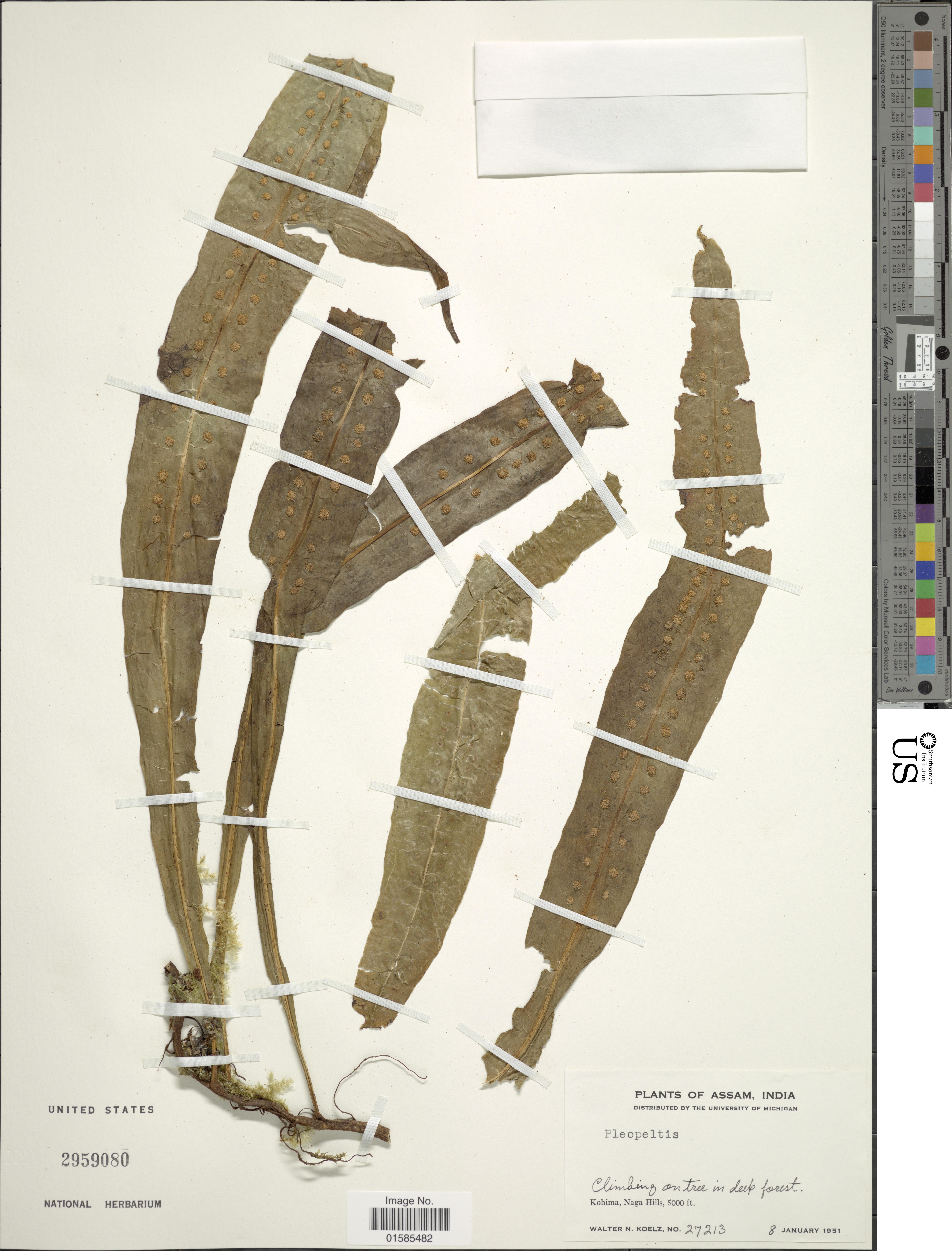 Image of Leptochilus
