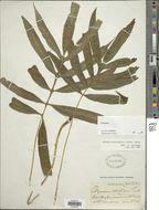 Image of <i>Leptochilus pentaphylla</i> (Baker)