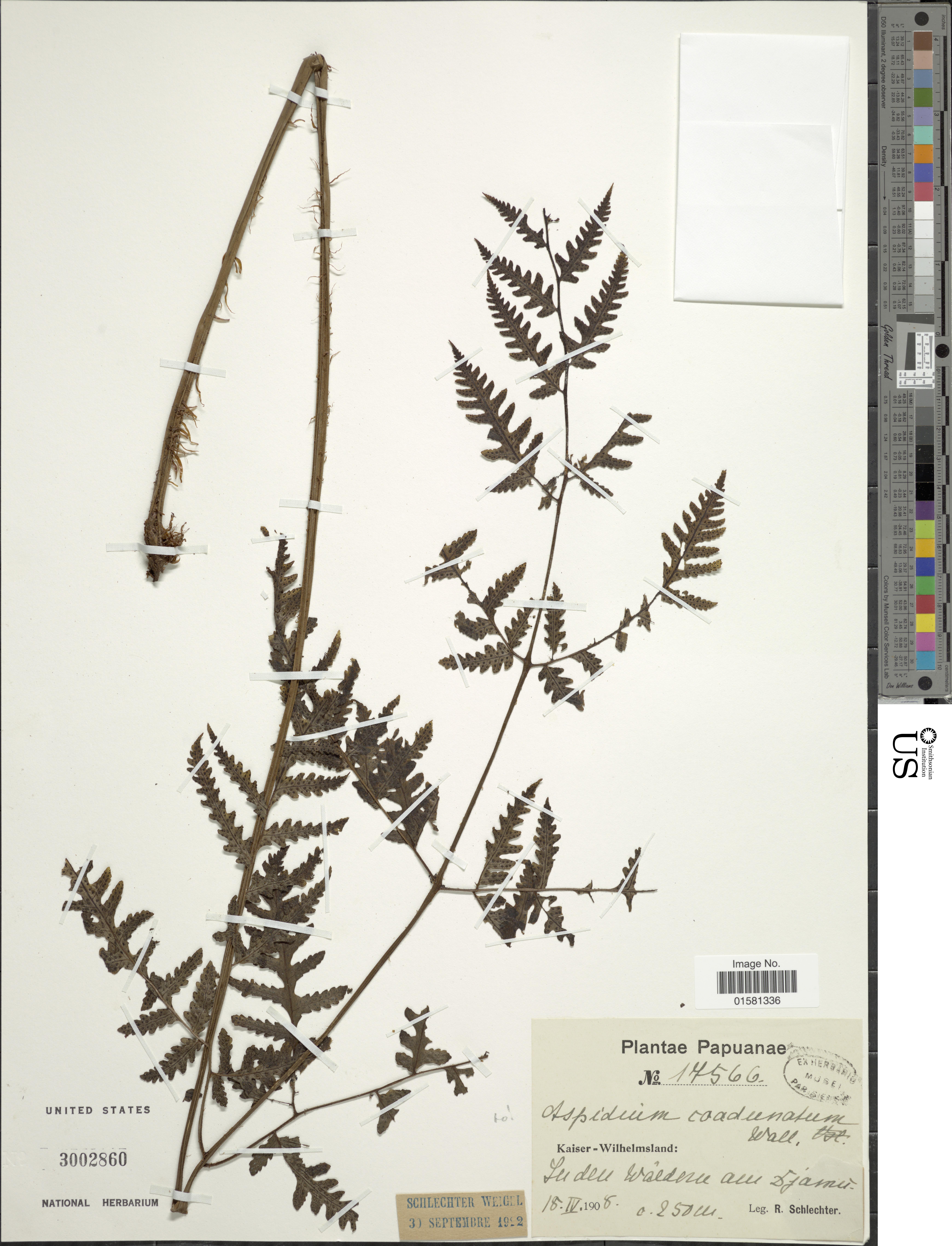 Image of Tectaria