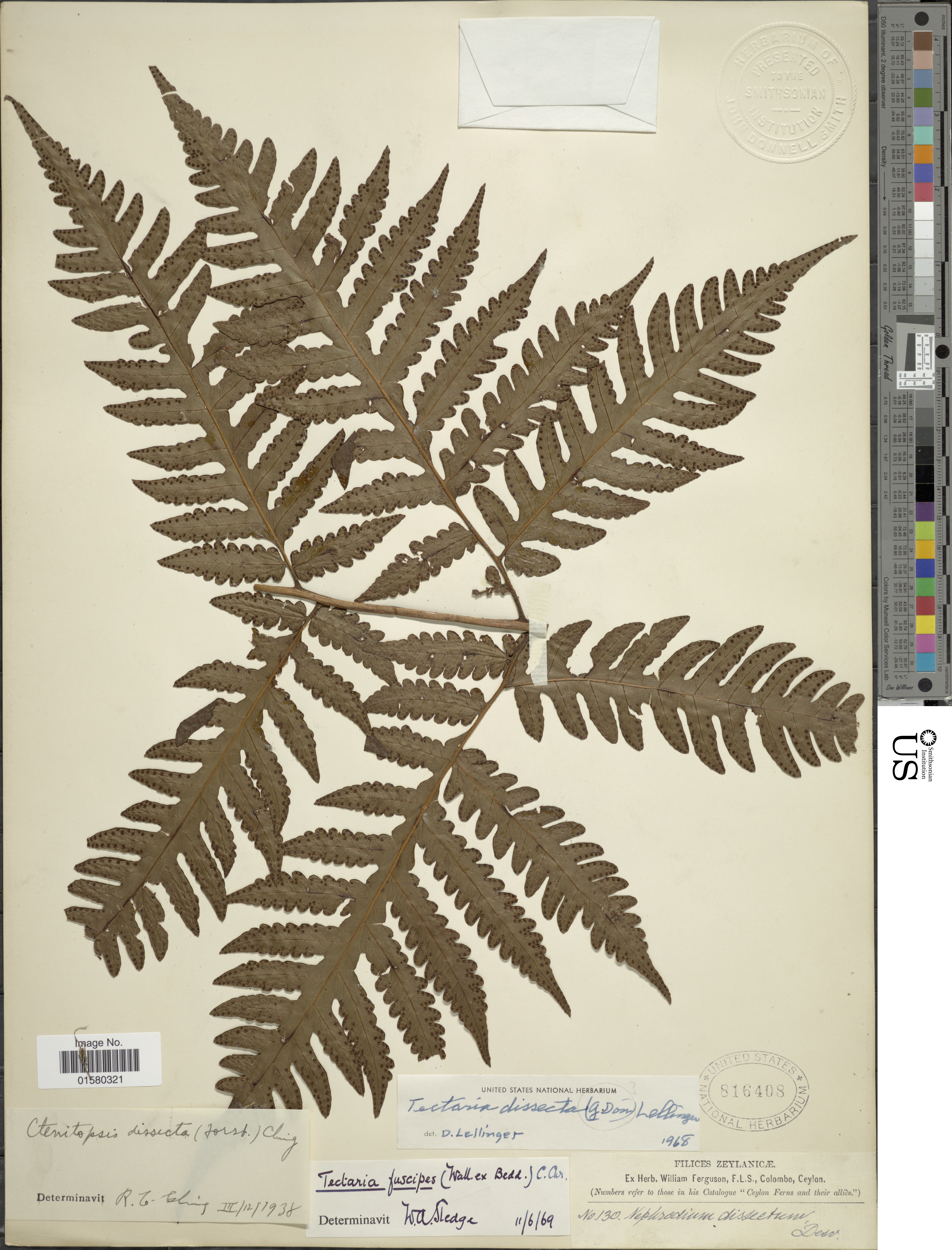 Image of <i>Tectaria paradoxa</i> (Fée) Sledge