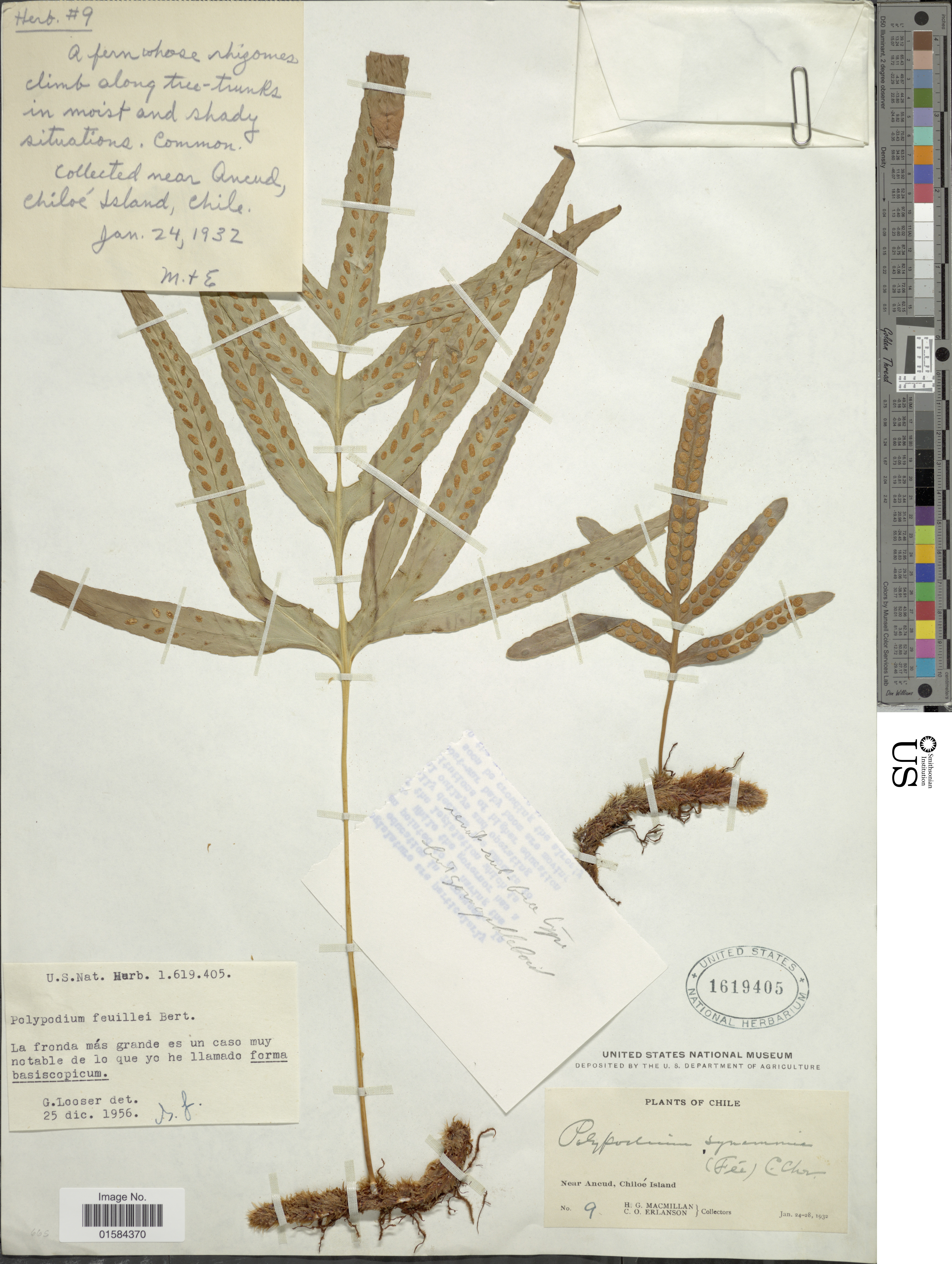 Image of <i>Synammia feuillei</i> (Bert.) Copel.