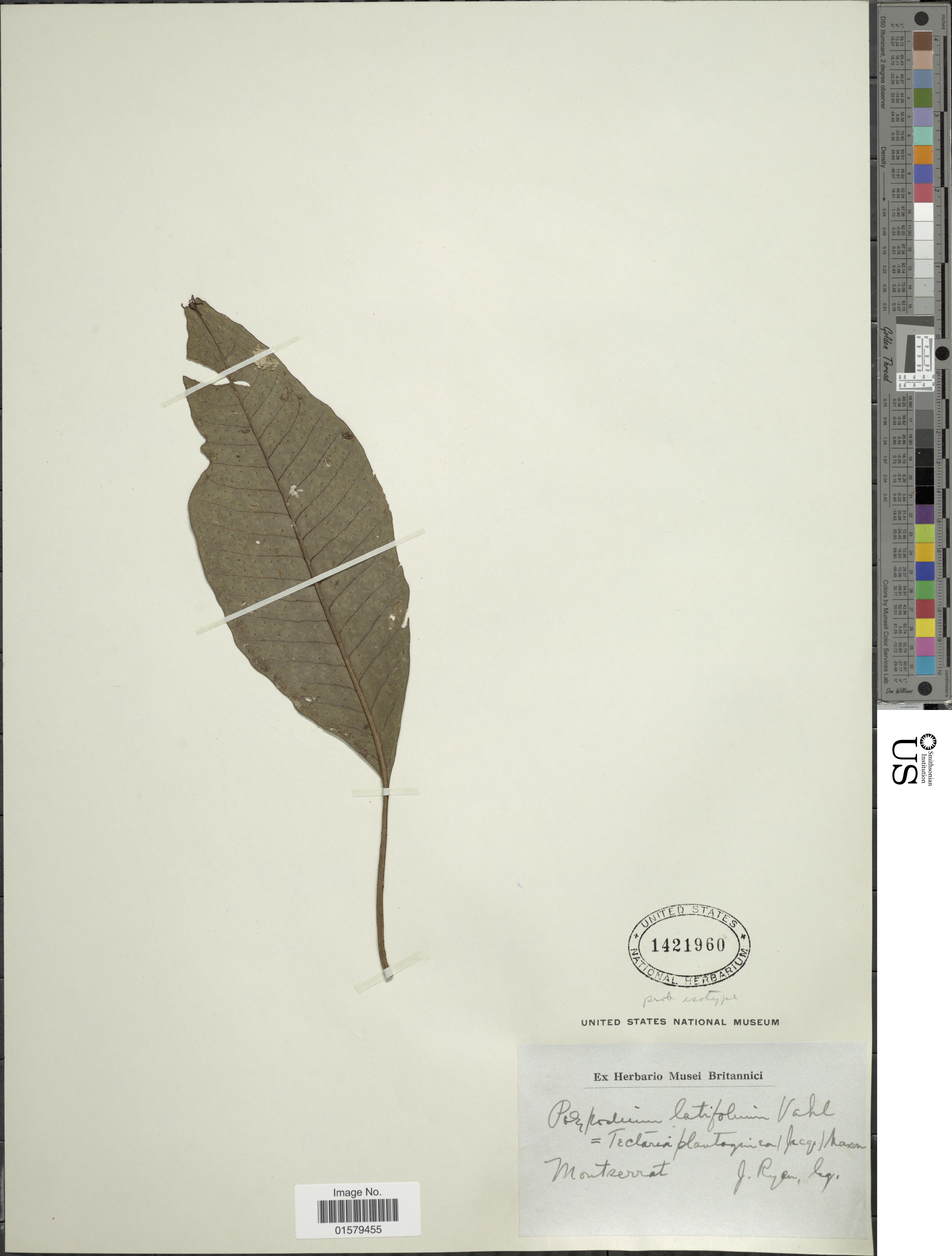 Image of plantainleaf halberd fern