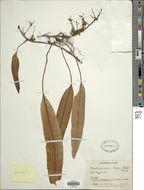 Image of <i>Elaphoglossum glossophyllum</i> Hieron.