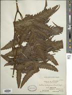 Image of <i>Tectaria griffithii</i> (Bak.) C. Chr.