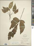 Image of <i>Tectaria angulata</i> (Willd.) Copel.