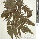 Image of <i>Tectaria rivalis</i> (Mett. ex Kuhn) Maxon