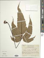 Image of <i>Tectaria barclayi</i> (Carruth.) C. Chr.