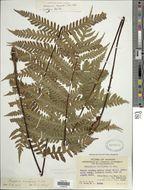 Image of <i>Tectaria sagenioides</i> (Mett.) Christenh.