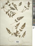 Image of Hattie Bauer's halberd fern