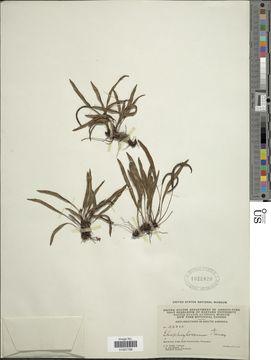 Image of <i>Elaphoglossum tenax</i> Rosenst.