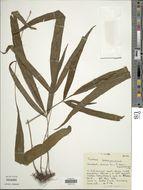 Image of <i>Tectaria lobbii</i> (Hook.) Copel.