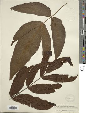 Image of <i>Tectaria polymorpha</i> (Wall. ex Hook.) Copel.