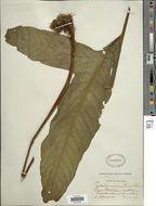 Image of <i>Tectaria draconoptera</i> (D. C. Eaton) Copel.