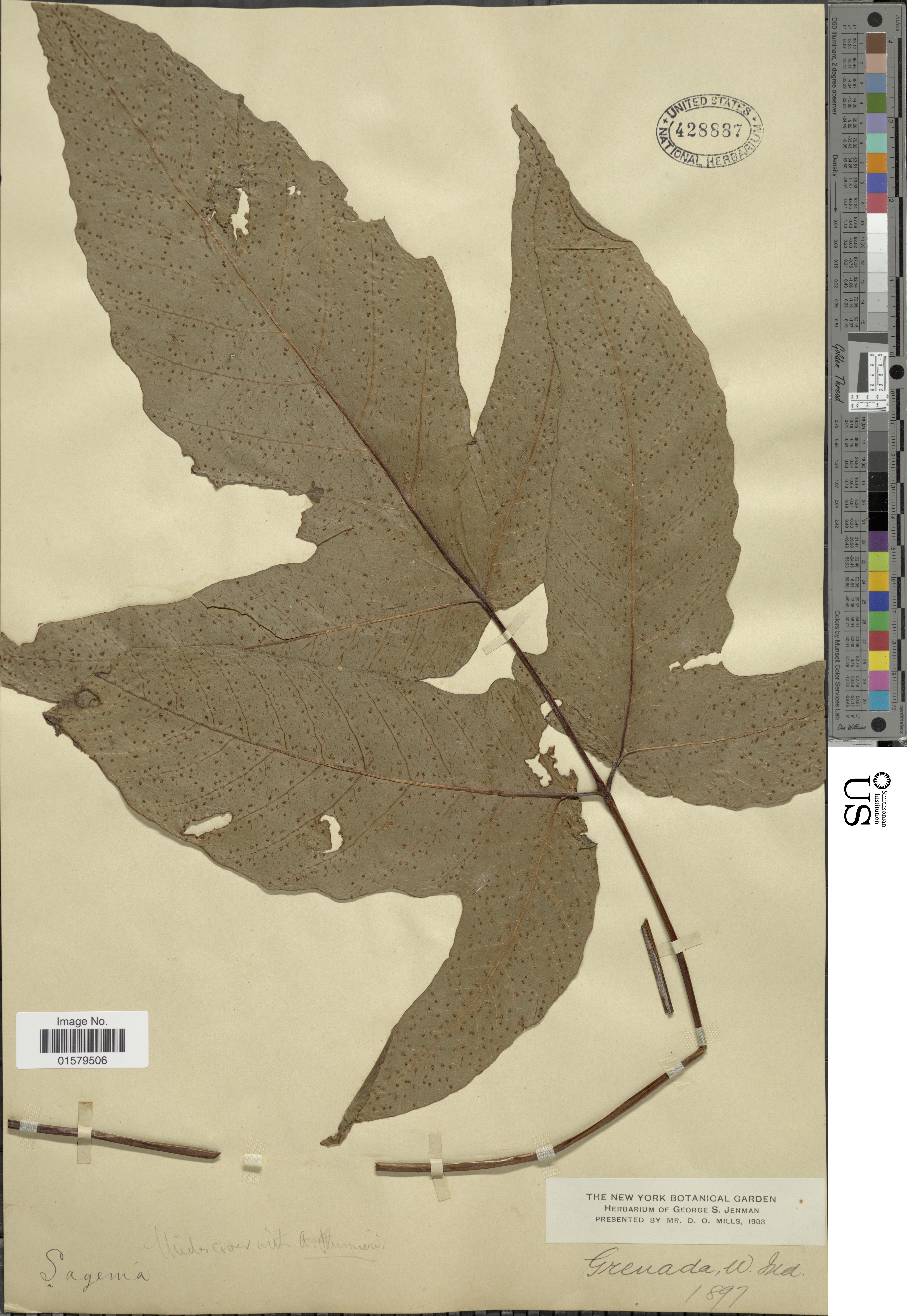 Image of threeleaf halberd fern
