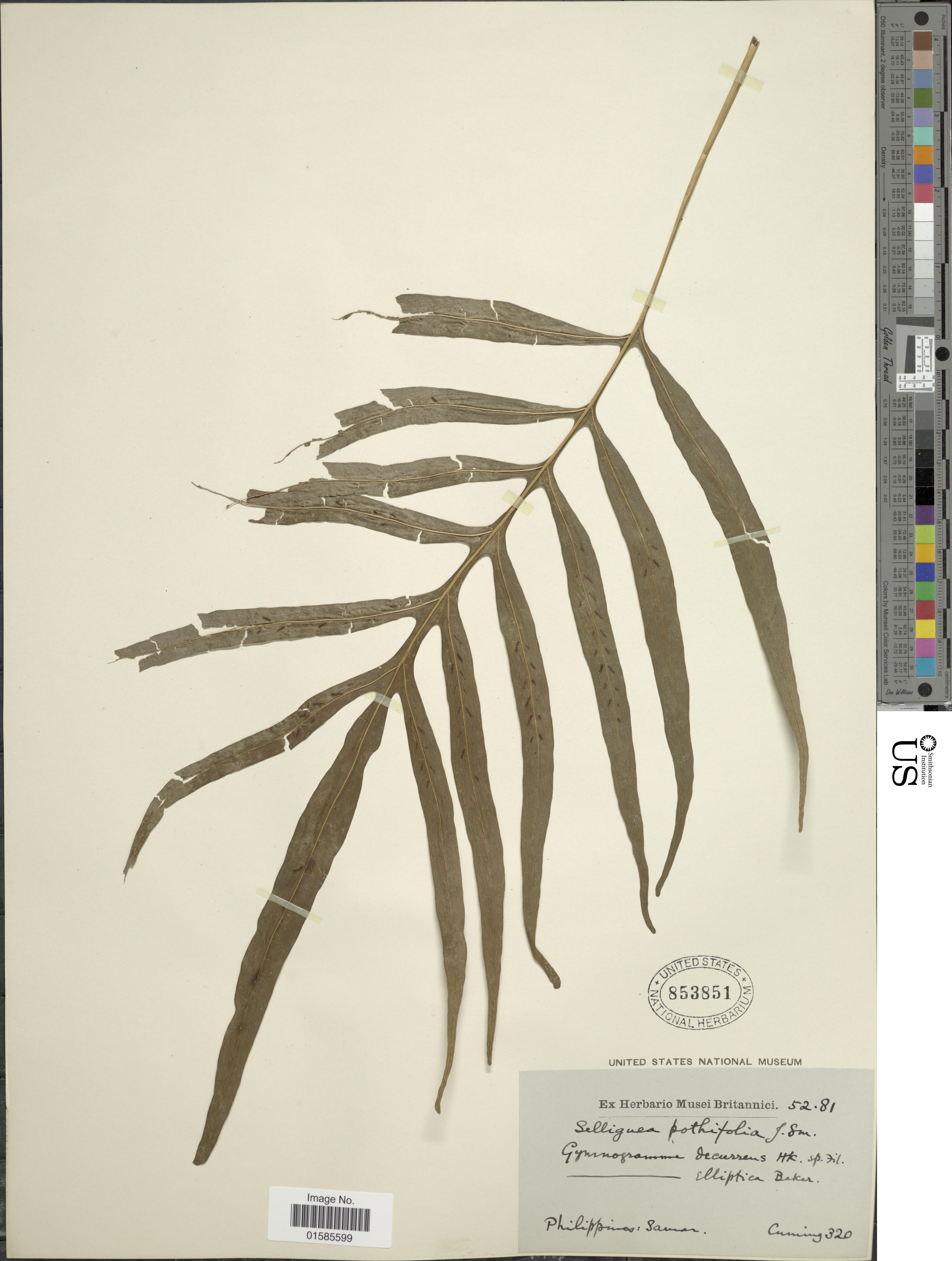 Image of <i>Leptochilus ellipticus</i> (Thunb.) Nooteboom