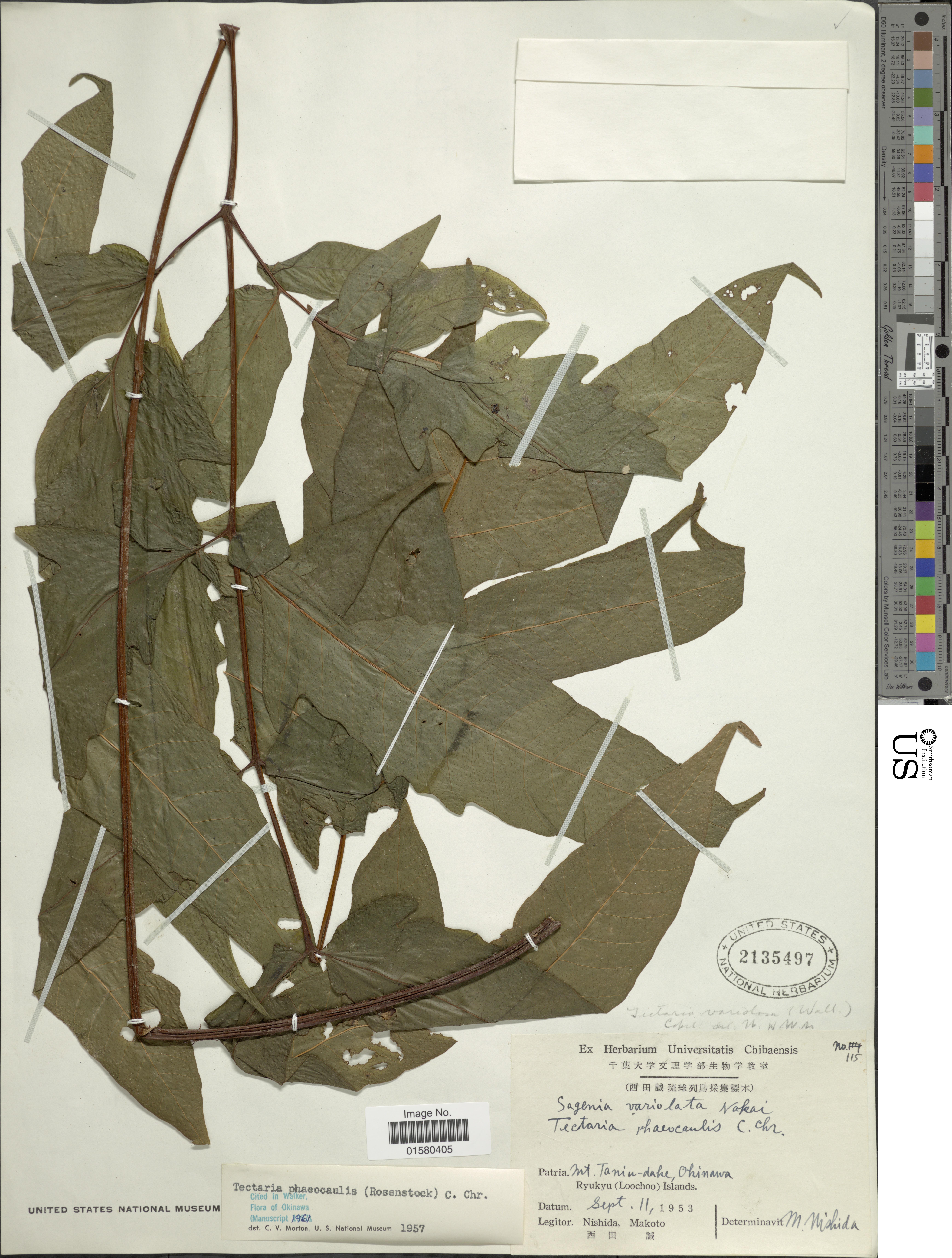 Image of <i>Tectaria phaeocaulis</i> (Rosenst.) C. Chr.