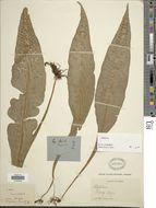 Image of <i>Leptochilus hemionitideus</i> (C. Presl) Noot.