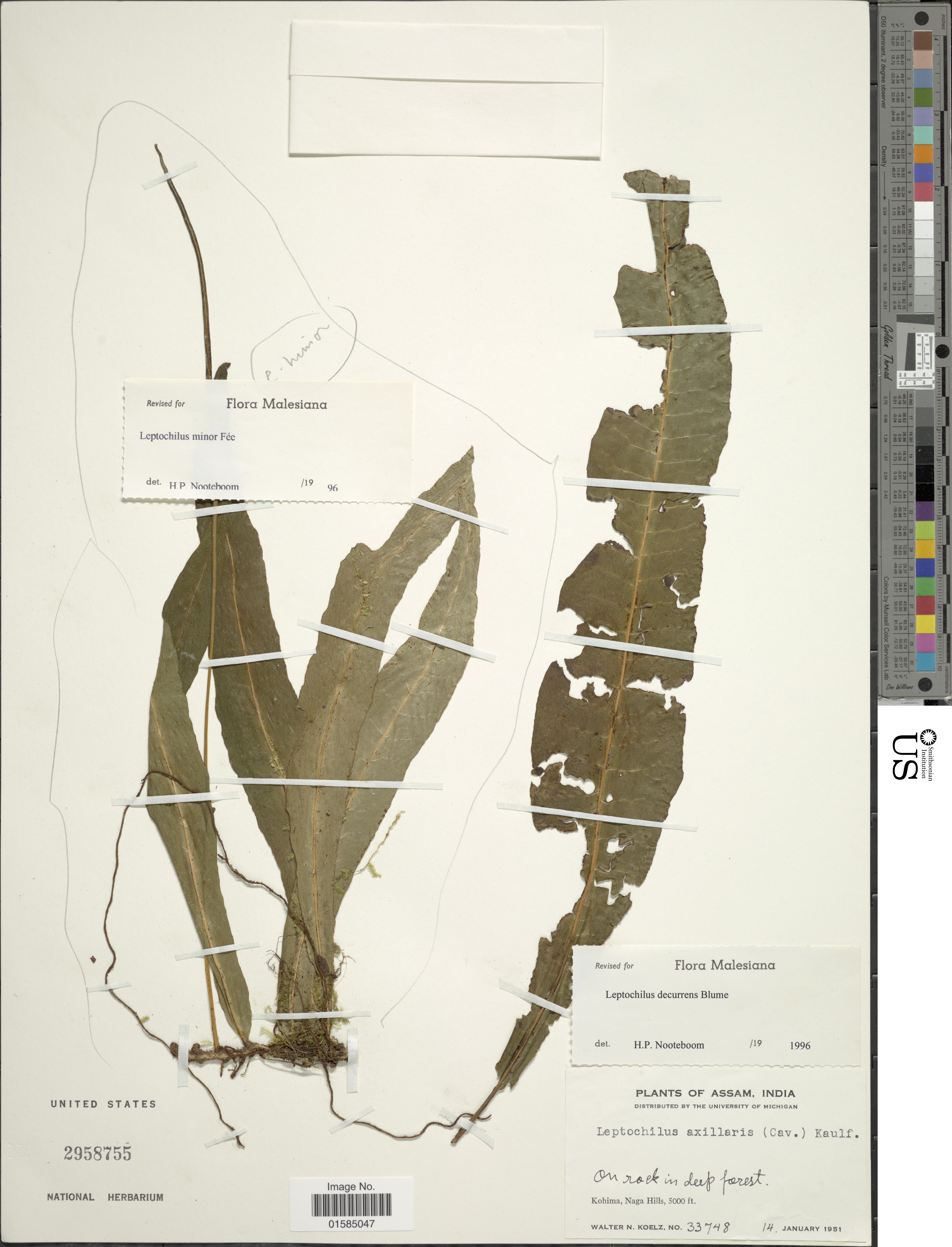 Image of <i>Leptochilus decurrens</i> Bl.