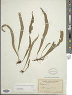 Image of <i>Leptochilus subhemionitideus</i> (Christ) Bosman