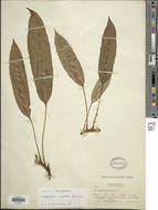 Image of <i>Elaphoglossum angulatum</i> (Bl.) Moore