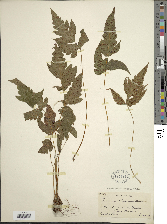 Image of least halberd fern