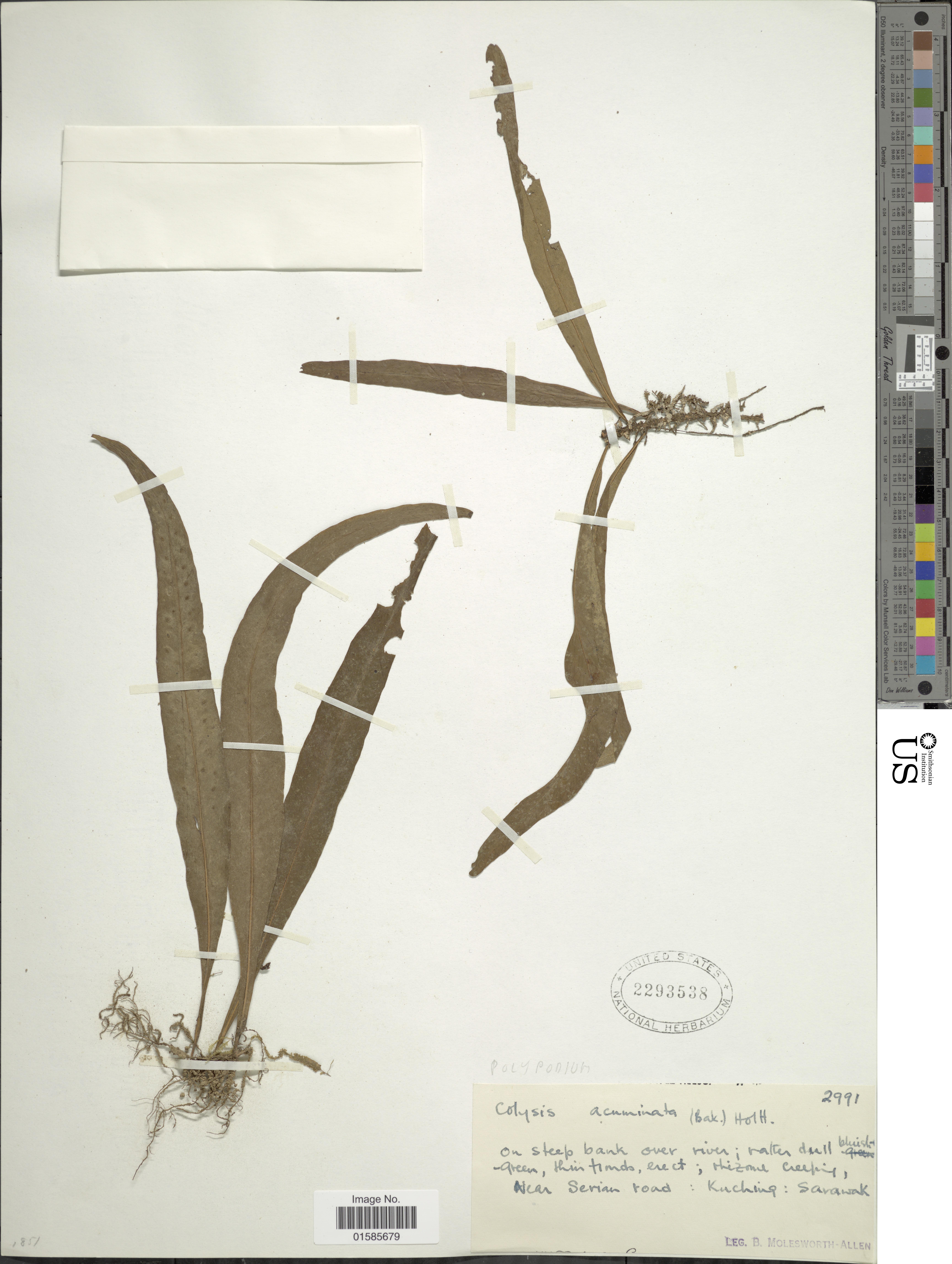 Image of <i>Leptochilus macrophyllus</i> (Bl.) Nooteboom
