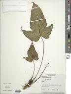 Image of <i>Tectaria acerifolia</i> R. C. Moran