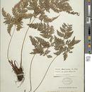 Image of <i>Arachniodes denticulata</i> (Sw.) Ching