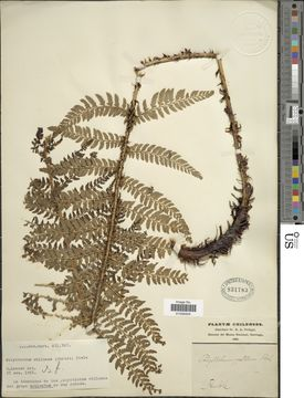 Image of <i>Polystichum chilense</i> (Christ) Diels