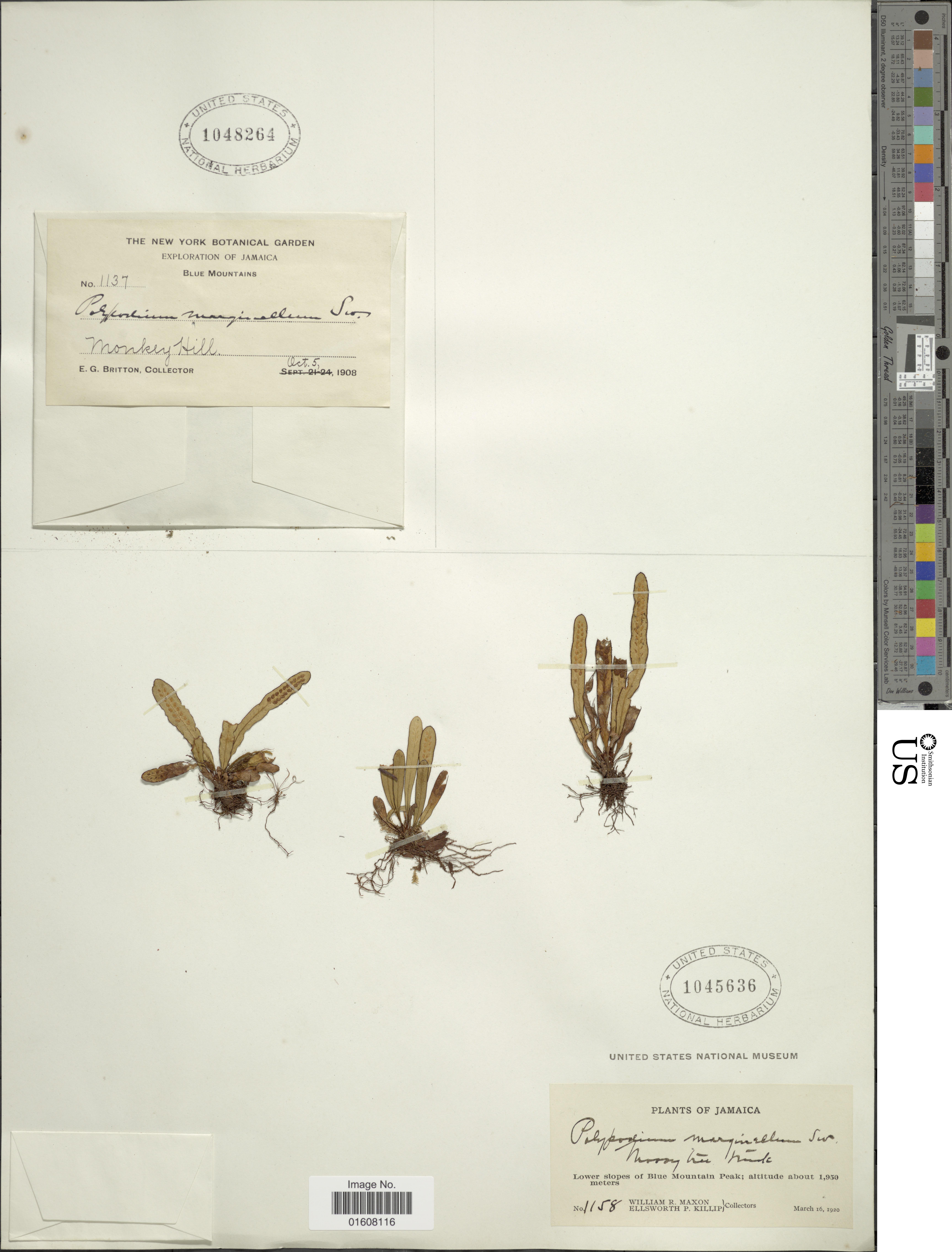 Image of <i>Grammitis marginella</i> (Sw.) Sw.