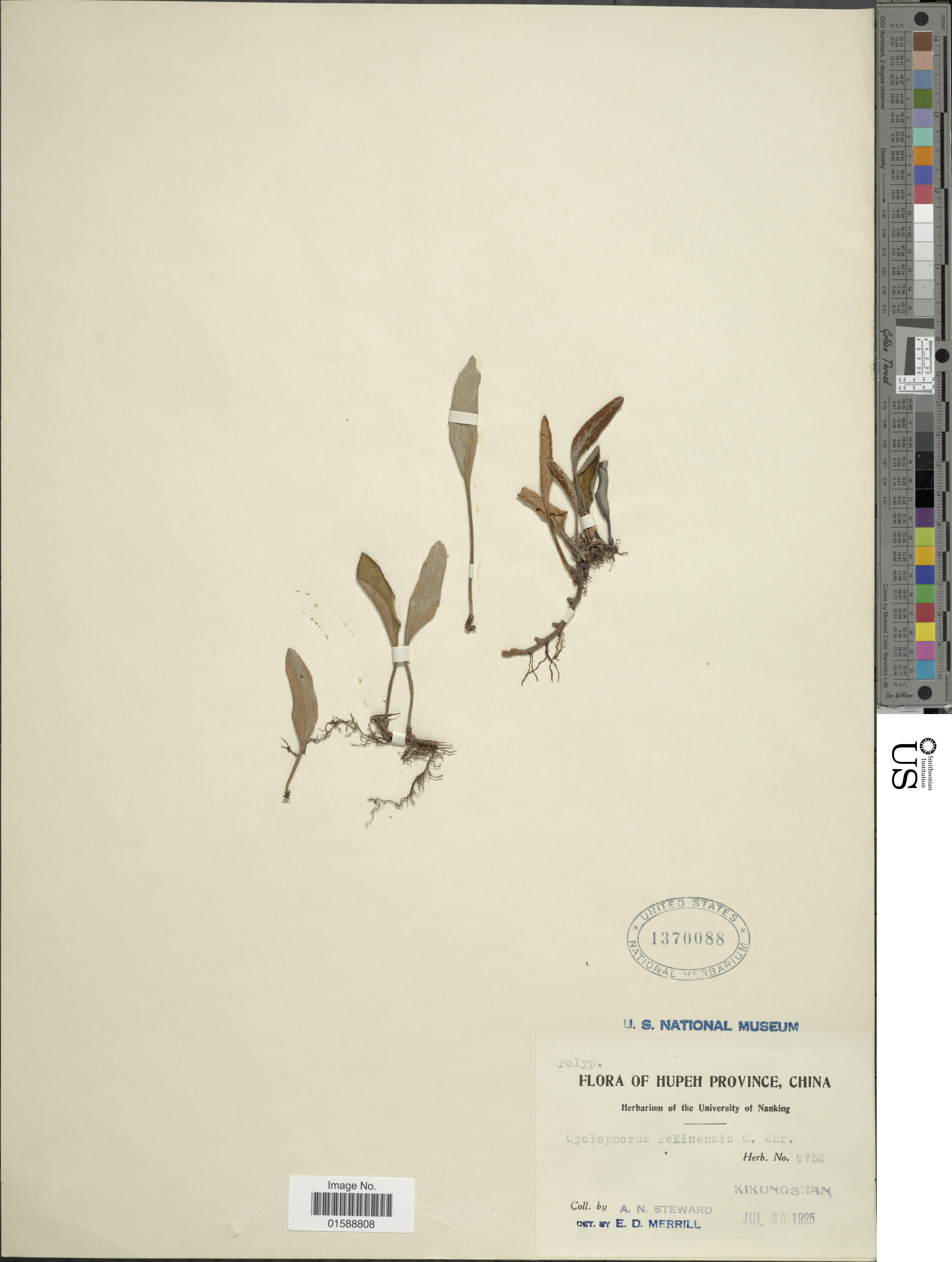 Image of <i>Pyrrosia davidii</i> (Bak.) Ching