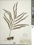 Image of <i>Polypodium fraternum</i> Schltdl. & Cham.